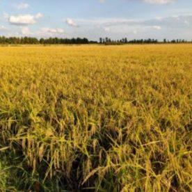 Die Reisfelder in der Ebene südlich von Verona