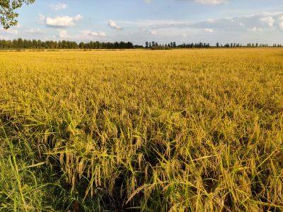 Die Reisfelder in der veroneser Ebene: Erntezeit