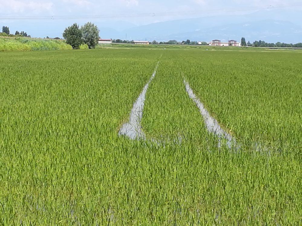 Reisfelder im Wasser
